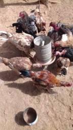 Frangos e galinhas caipiras!!