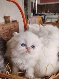 Filhote macho  Gato Persa