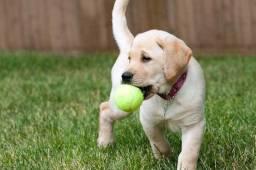 Lindos Labrador Fêmea