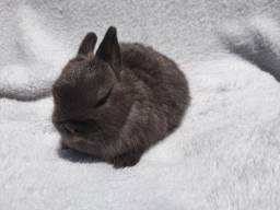 Mini coelho anão Netherland filhote
