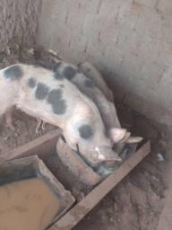 3 porcos 1.200