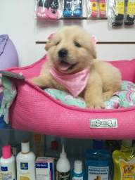 GOLDEN RETRIEVER DISPONIVEL
