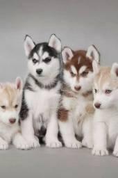 Husky Siberiano, machos e fêmeas com garantias de vida e saúde ?