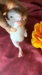 Rato twister dumbo