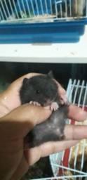 Filhotes de hamster sírio 20,00