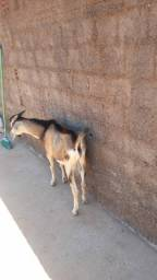 Bode + cabra