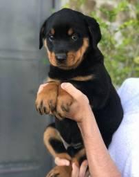 Rottweiler linhagem pura com pedigree