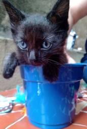 Filhotinho de gatinho Preto com 2 meses