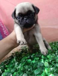 Pug Filhote 2 meses