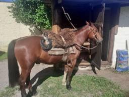Cavalo Criolo capado