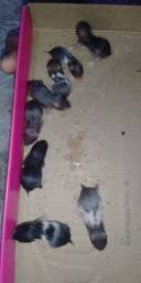 Hamster filhote sírio