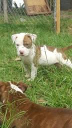 Pit Bull - filhotes Pitbull