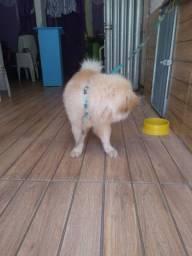 Vendo Cachorro Chow Chow