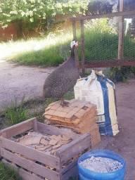 Casal galinha da angola