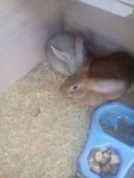 Vendo dois coelhinhos por r$ 50