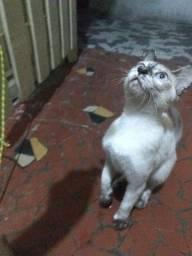 Doa-se gatinha filhote siamês