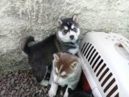 Barbada!!! Husky Siberianos