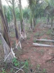 Vendo palmeiras imperial entre 2m e 4m de altura