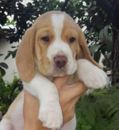 Beagle tricolor padrão, com pedigree garantia