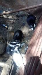 Vendo coelhos femia e machos tem filhote e adulto
