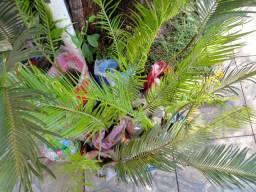 Mudas de coqueiro pinheiro