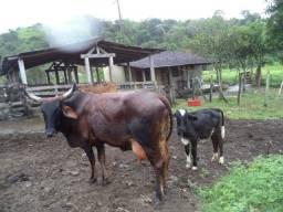 Otimo sítio para criação de gado e moradia