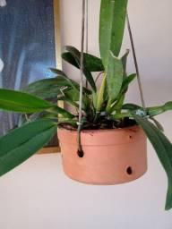 Vasos com orquídeas produzindo