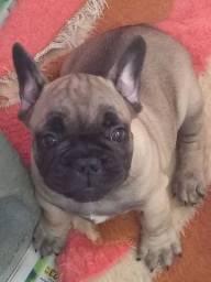 Vende-se último filhote de Bulldog francês ótima linhagem