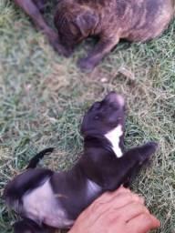 Pitbull Rednose (pai) X Bulldog Francês (mãe)
