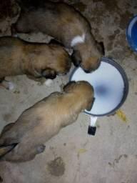 Vende-se filhotes de cachorro