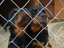 Lindo casal de Rottweiler a venda pedigree