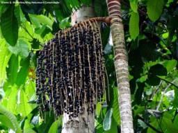 Fornecedor de Açai em caroço (fruta)
