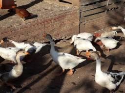 Vendo gansos Toulouse com caipiras ,lindos