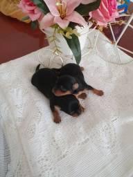 Yorkshire terrier pra reserva