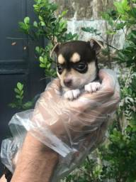 Chihuahua a pronto entrega