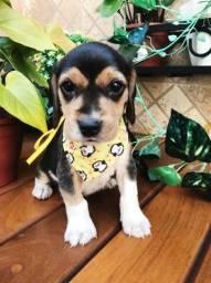 lindos beagle femea e macho disponivel