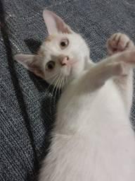 Gato macho de aproximadamente 2 meses para adoção