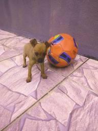 Cachorro raça pinscher miniatura