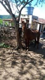 Égua mangalarga sem registro 4 anos e meio boa e ligeira