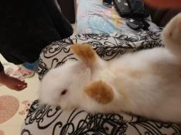 Vendo lindo coelhinho manso ama ficar no colo