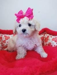 Lindo Casal de Poodle disponível