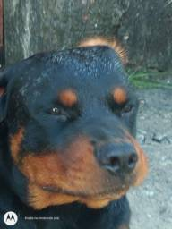 Rottweiler disponível para cruzar