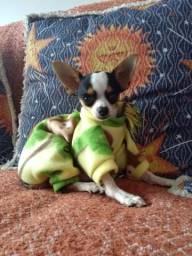 Filhote de Chihuahua mini macho