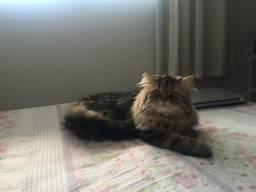 Procura gata persa para cruzar