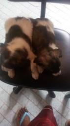 Filhotes do cão