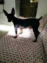 Cachorro pinscher número 3