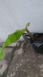 Muda de bananeira