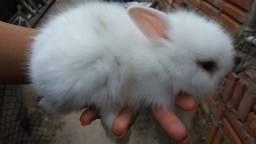 Filhotes mini lion