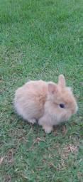 Vendo  filhotes  de coelho  netherland