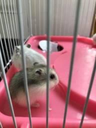 Lindos filhotes de hamsters